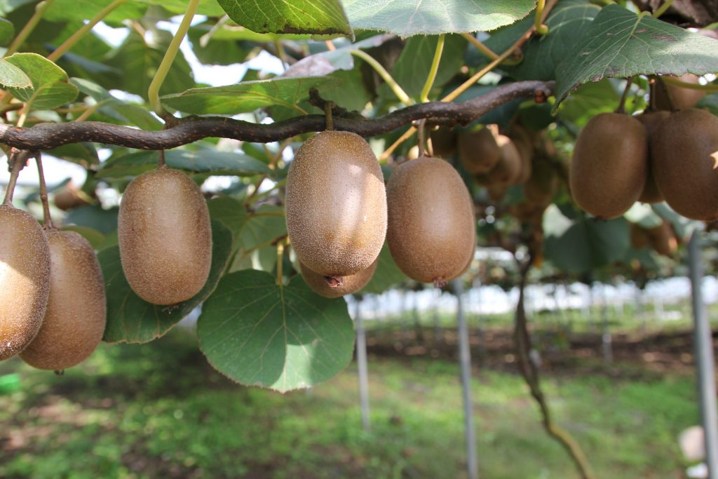 Kiwi Fruit on the Vine