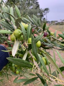 Lauriston Grove Olives