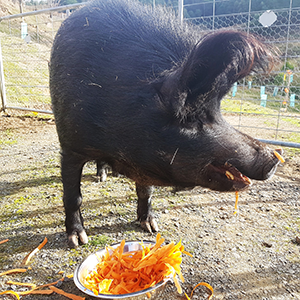 Range TASMANIA Bert the Pet Pig